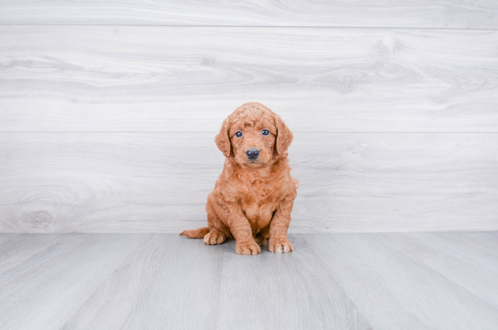Goldendoodle Cost