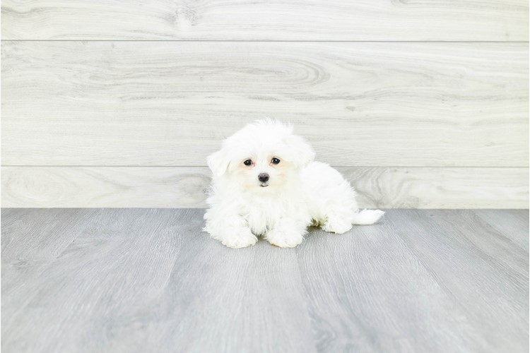 TEACUP MALTESE PUPPY 2