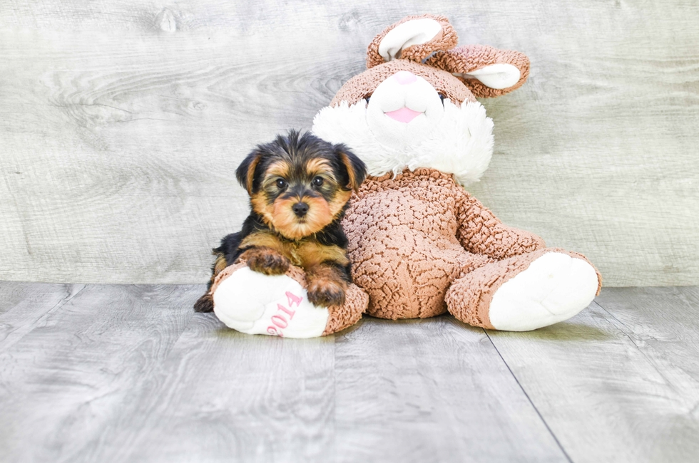 YORKIE PUPPY - 8 week old Yorkshire Terrier for sale