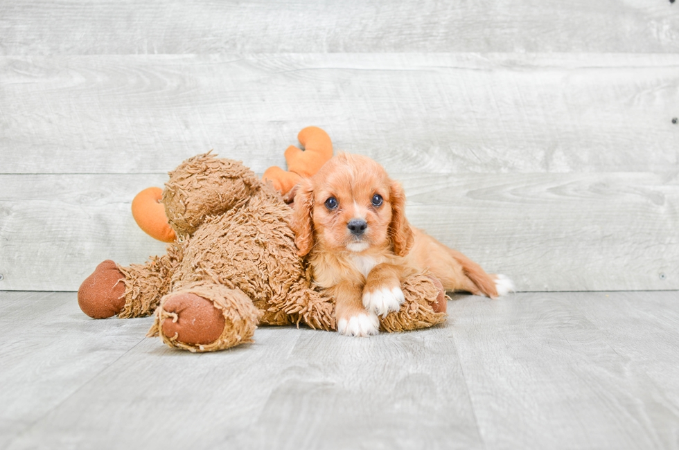 CAVALIER KING CHARLES SPANIEL PUPPY - 8 week old Cavalier King Charles Spaniel for sale