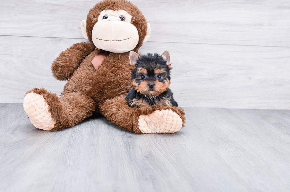 TEACUP YORKSHIRE TERRIER PUPPY - 9 week old Yorkshire Terrier for sale