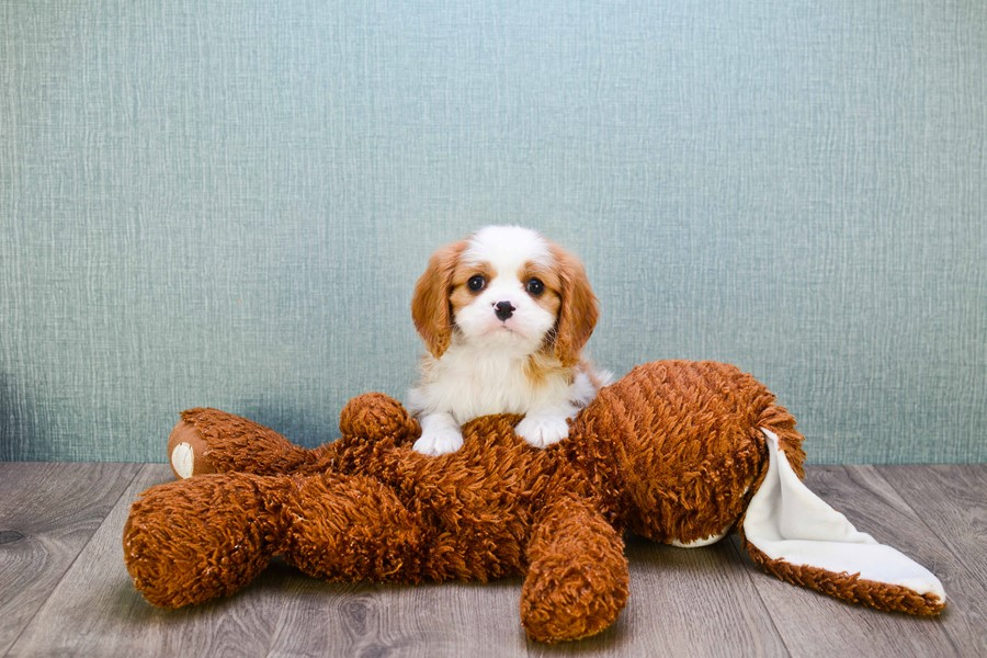 CAVALIER KING CHARLES PUPPY 2