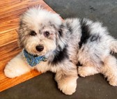 Mini Sheepadoodle Puppy For Sale Premier Pups