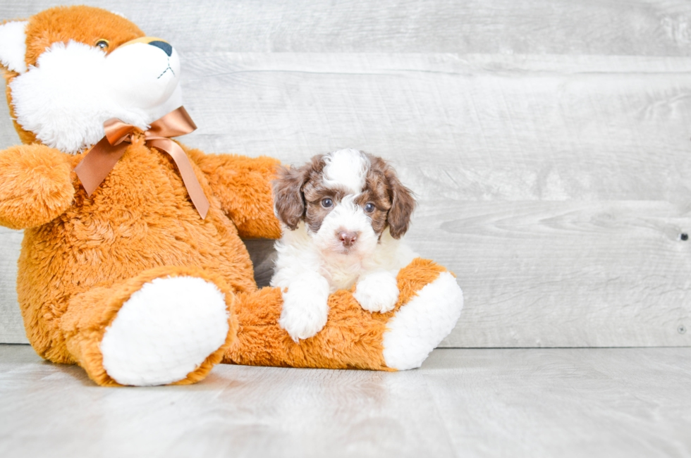 POODLE PUPPY - 7 week old Poodle for sale