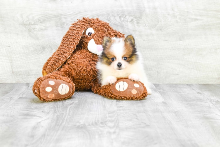 TEACUP POMERANIAN PUPPY 1