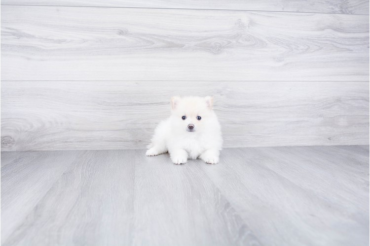 TEACUP POMERANIAN PUPPY 3