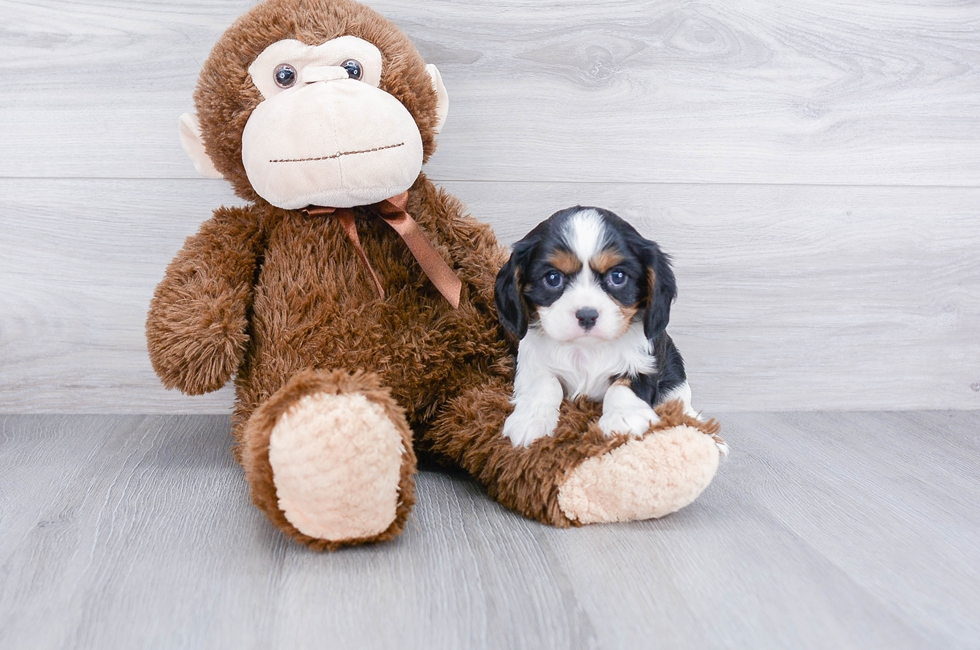 CAVALIER PUPPY - 6 week old Cavalier King Charles Spaniel for sale