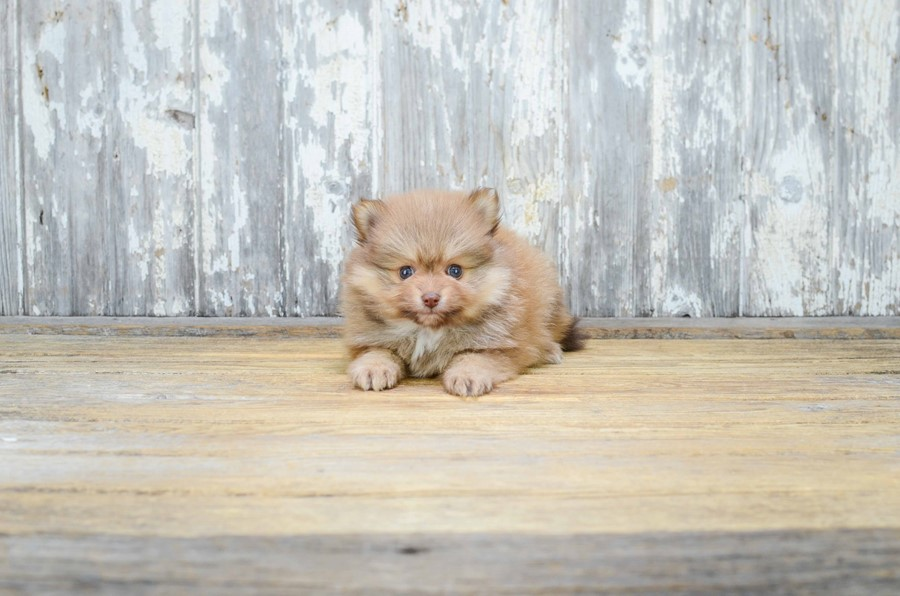 TEACUP POMERANIAN PUPPY 4