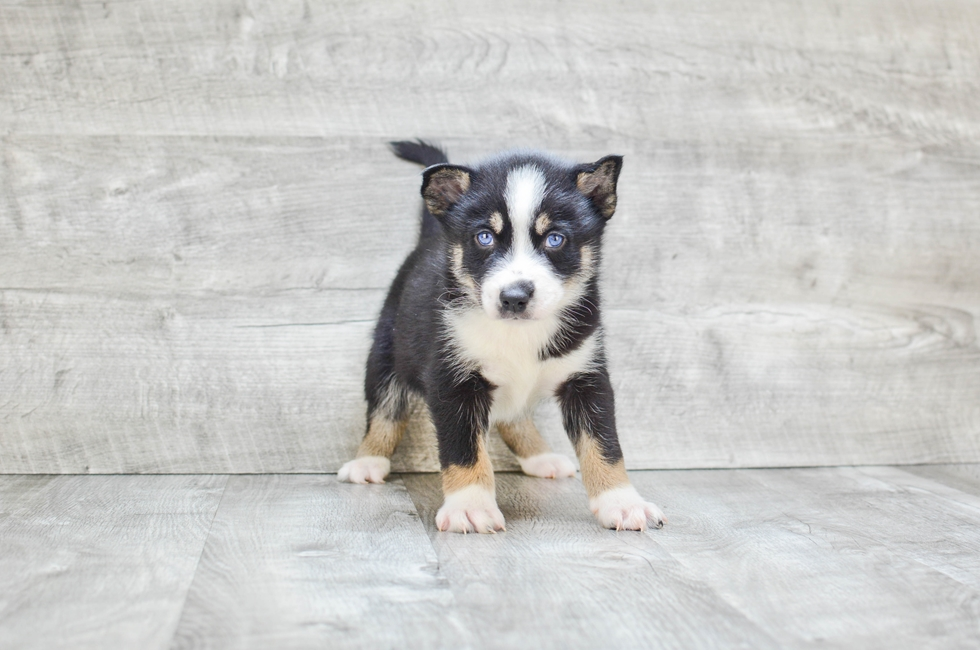 POMSKY PUPPY - 8 week old Pomsky for sale