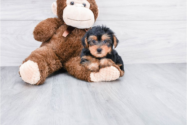 YORKSHIRE TERRIER PUPPY 2