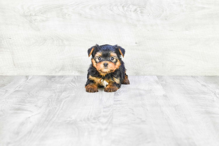 MICRO TEACUP YORKIE PUPPY 3