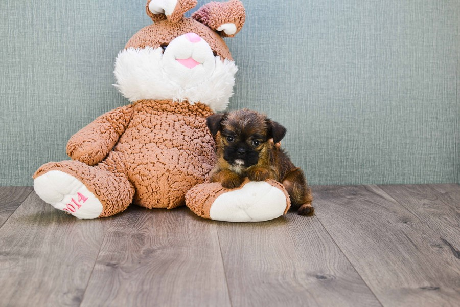 BRUSSELS GRIFFON PUPPY!!!! 3