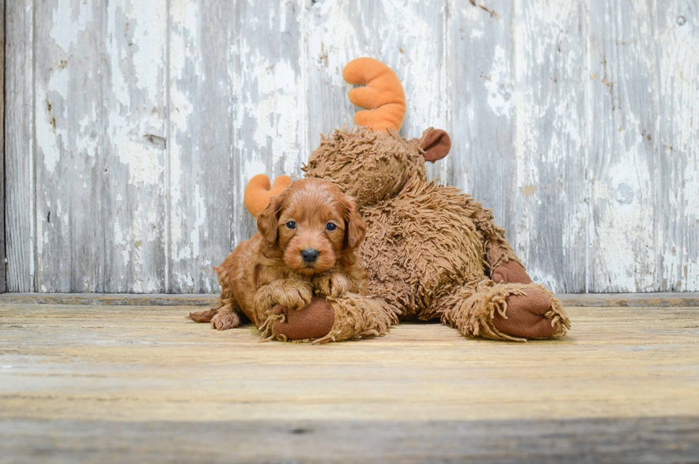MINI GOLDENDOODLE PUPPY - 6 week old Mini Goldendoodle
