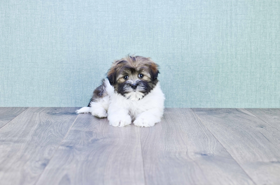 HAVANESE PUPPY - 8 week old Havanese for sale