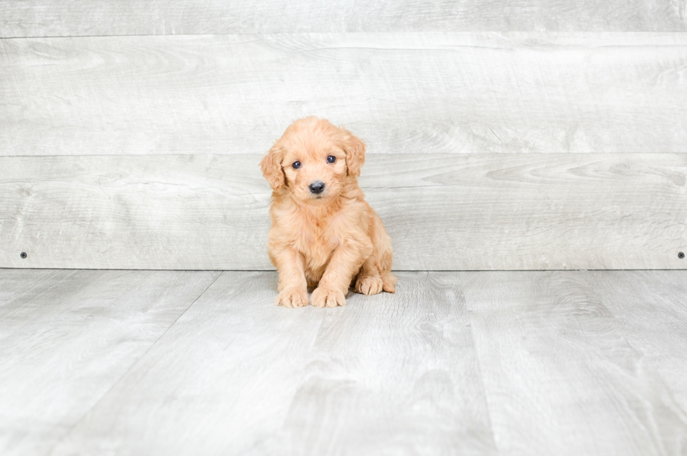F1B MINI GOLDENDOODLE PUPPY - 6 week old Mini Goldendoodle for sale