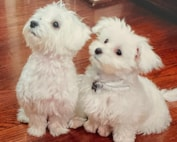 Maltese Puppy For Sale Premier Pups