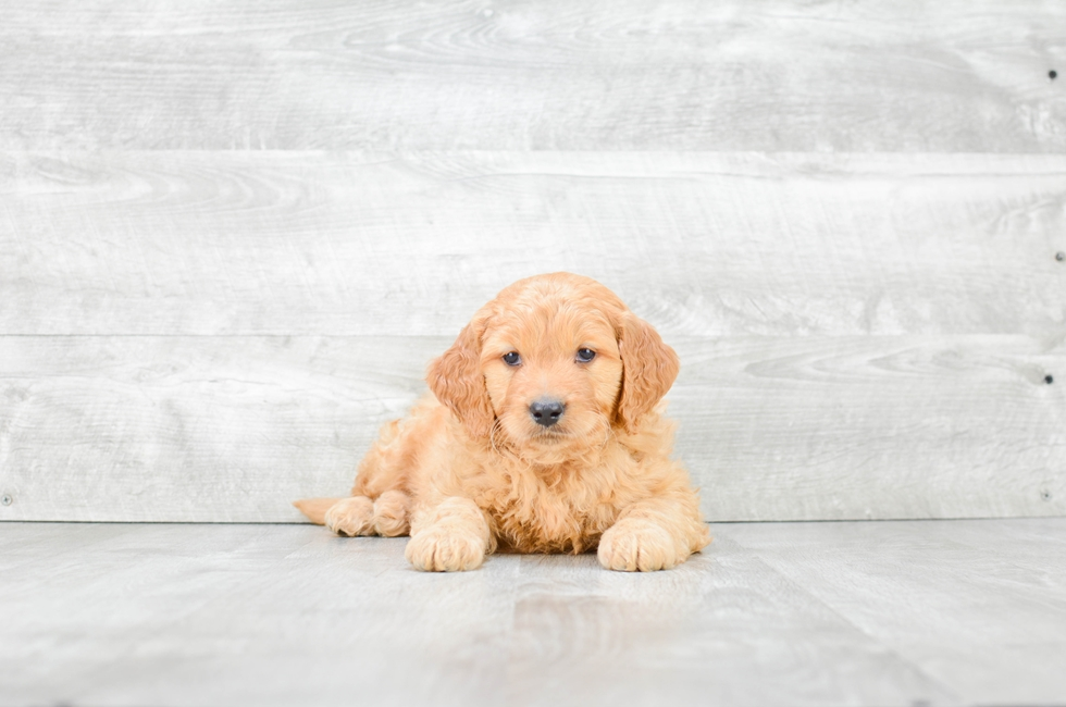 MINI GOLDENDOODLE PUPPY - 8 week old Mini Goldendoodle for sale