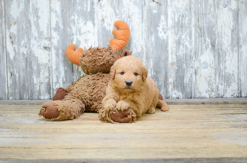 MINI GOLDENDOODLE PUPPY - 41 week old Mini Goldendoodle