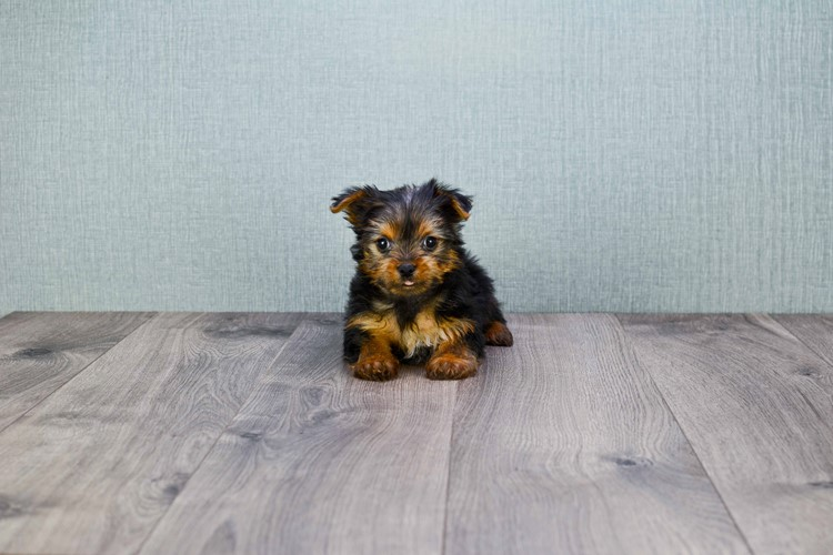 TEACUP YORKIE PUPPY 4