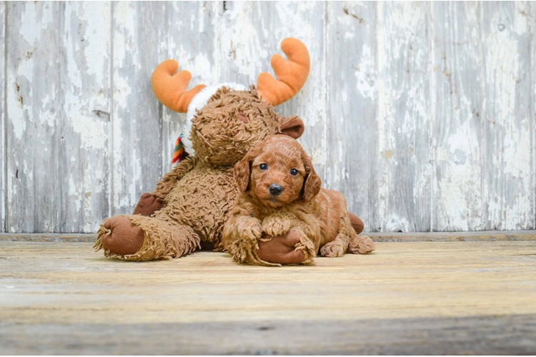 MINI GOLDENDOODLE PUPPY 1