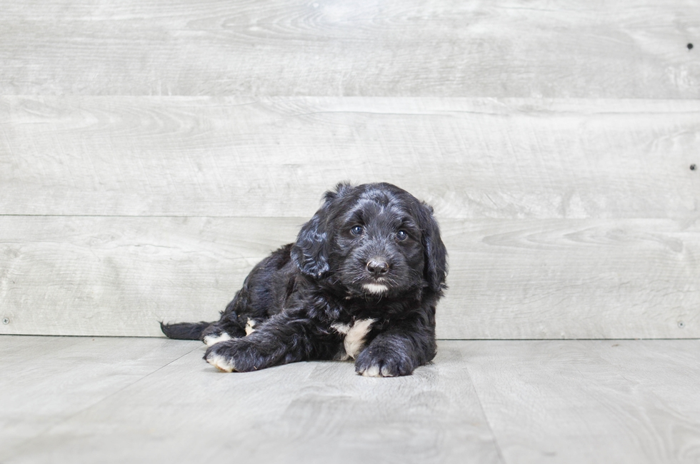 MINI BERNEDOODLE PUPPY - 9 week old Mini Bernedoodle for sale