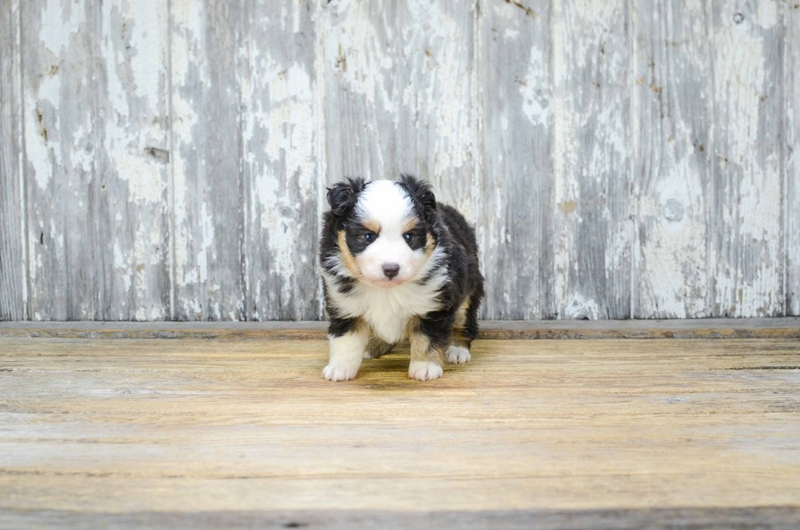 TOY AUSSIE PUPPY 5