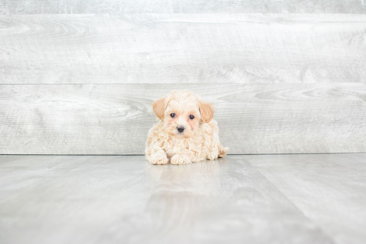 TEACUP MALTI POO PUPPY 2