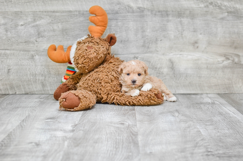 TEACUP MALTI POO PUPPY - 6 week old Malti Poo for sale