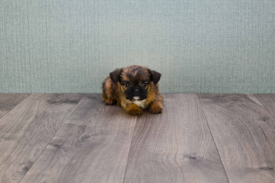 BRUSSELS GRIFFON PUPPY!!!! 4