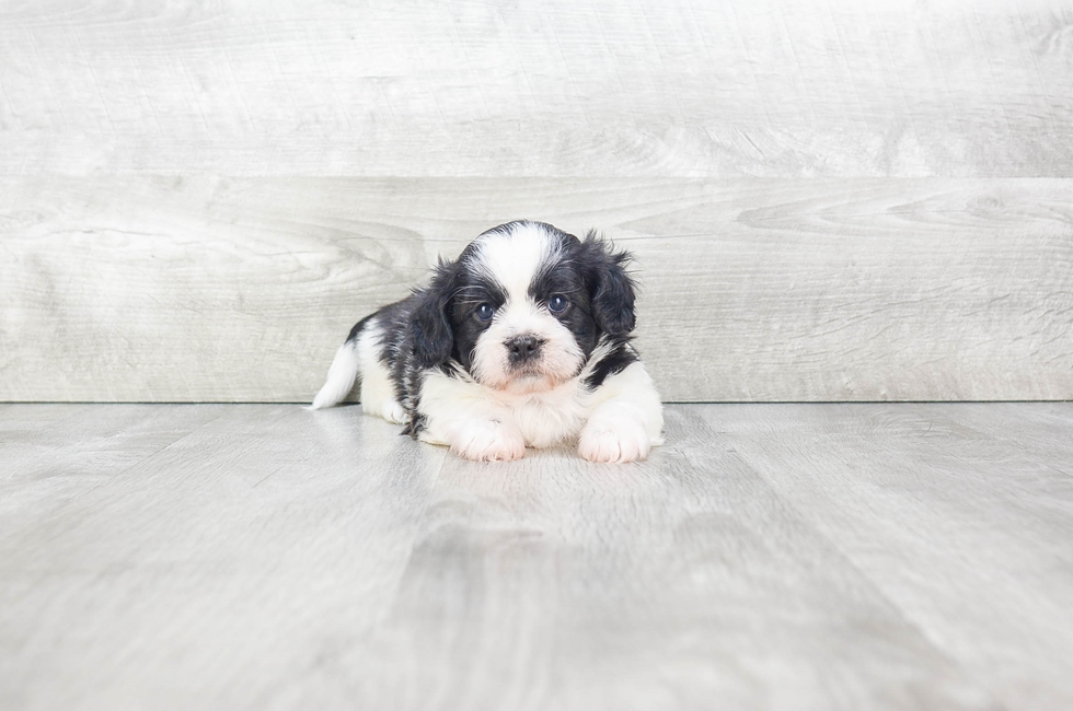 SHIH POO PUPPY - 5 week old Teddy Bear for sale