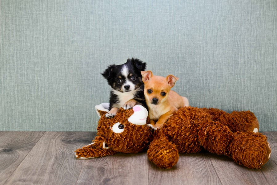 TEACUP CHIHUAHUA PUPPY 2