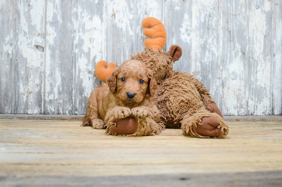 MINI GOLDENDOODLE PUPPY - 14 week old Mini Goldendoodle