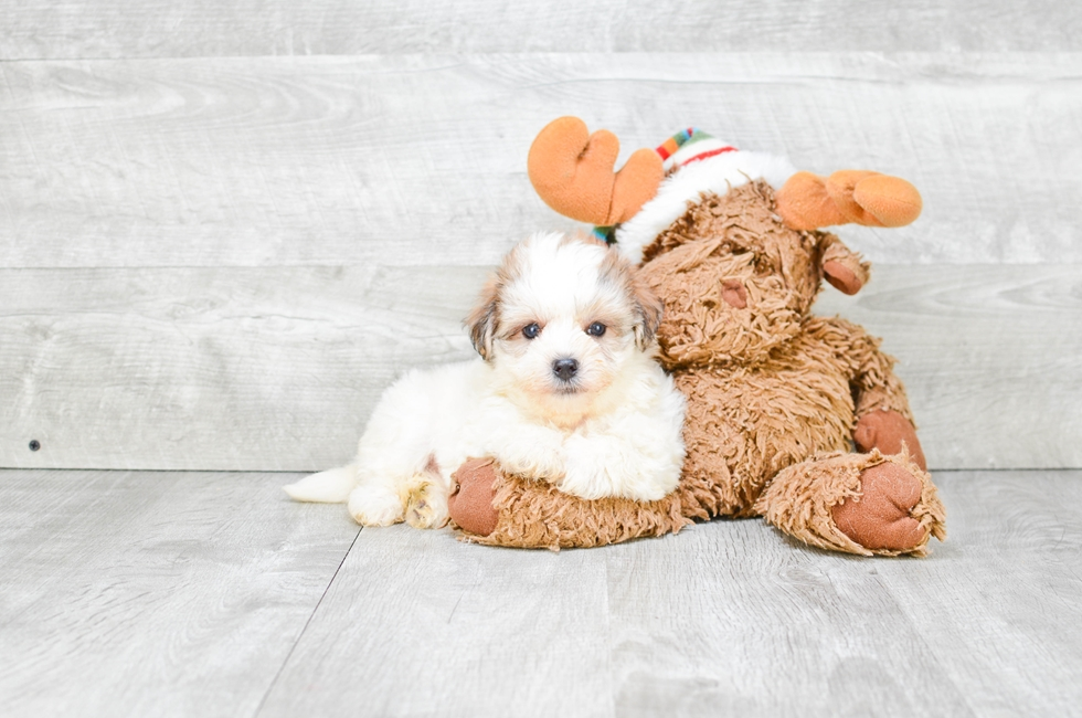 MORKIE PUPPY - 8 week old Morkie for sale