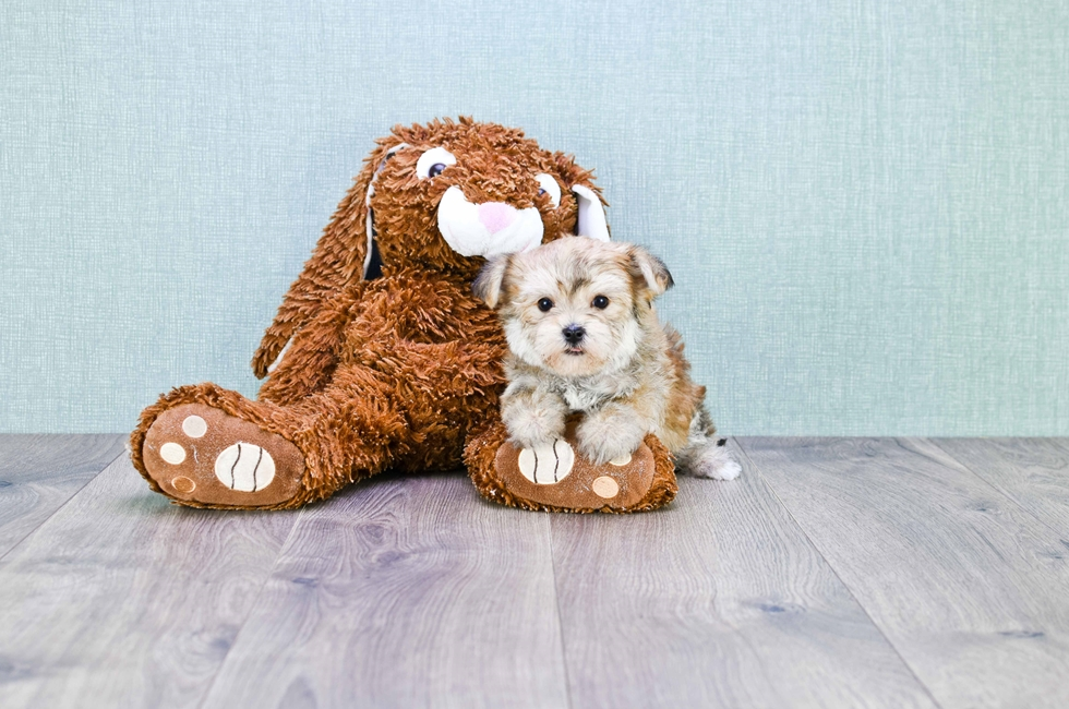 TEACUP MORKIE PUPPY - 8 week old Morkie for sale