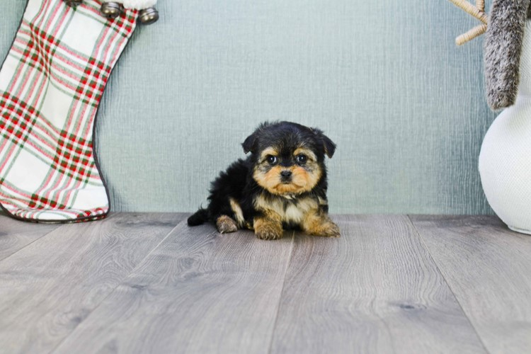 Shorkie Puppy For Sale Premier Pups