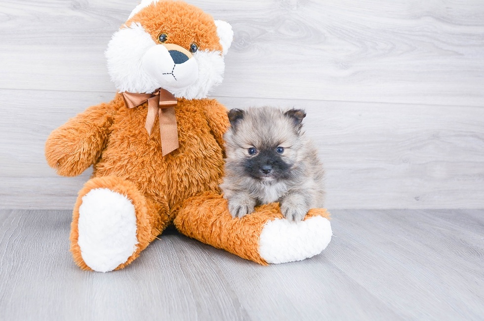 Pomeranian Puppies for Sale Online | Comfortable US Shipping