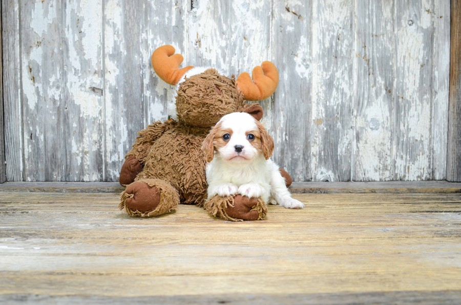 CAVALIER KING CHARLES SPANIEL PUPPY 3