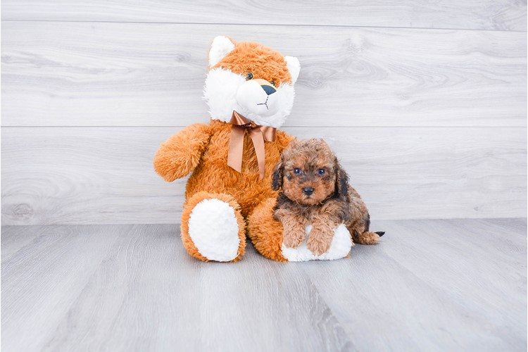 TOY POODLE PUPPY 1