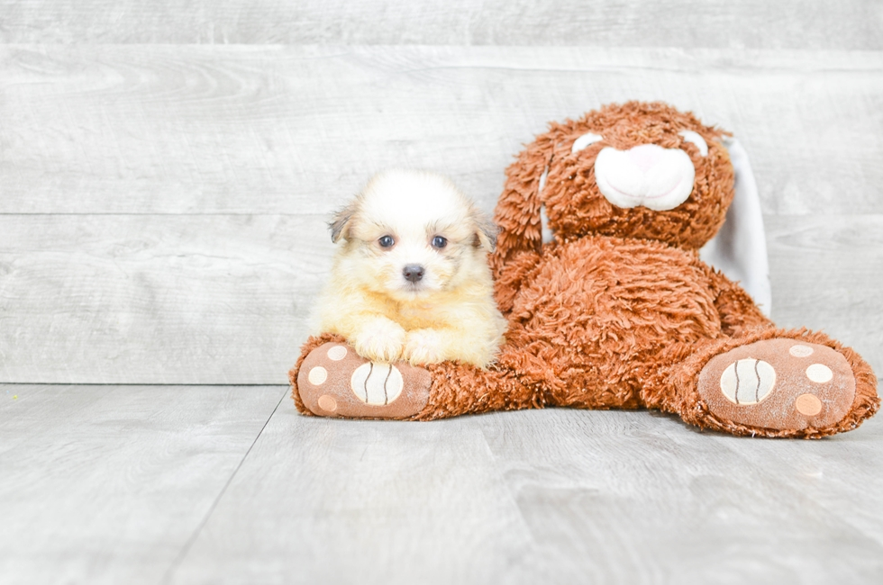 MALTI POM PUPPY - 7 week old Malti Pom for sale
