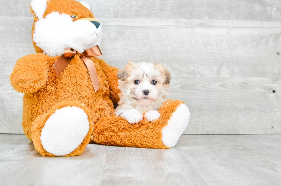 HAVANESE PUPPY - 6 week old Havanese for sale
