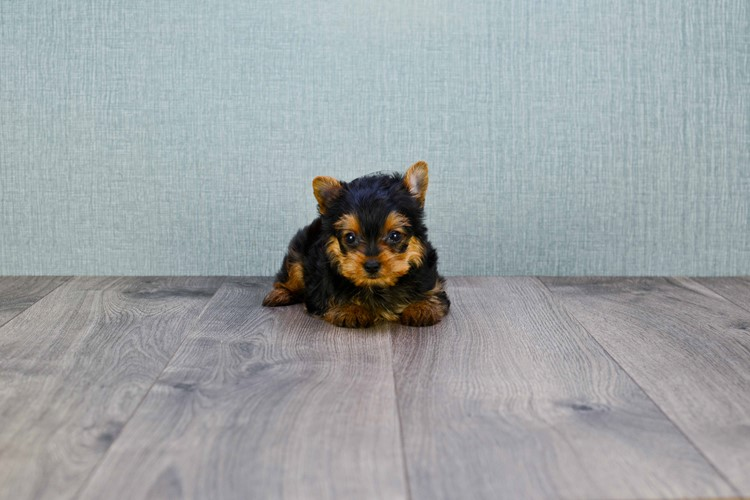 MICRO TEACUP YORKIE PUPPY 4