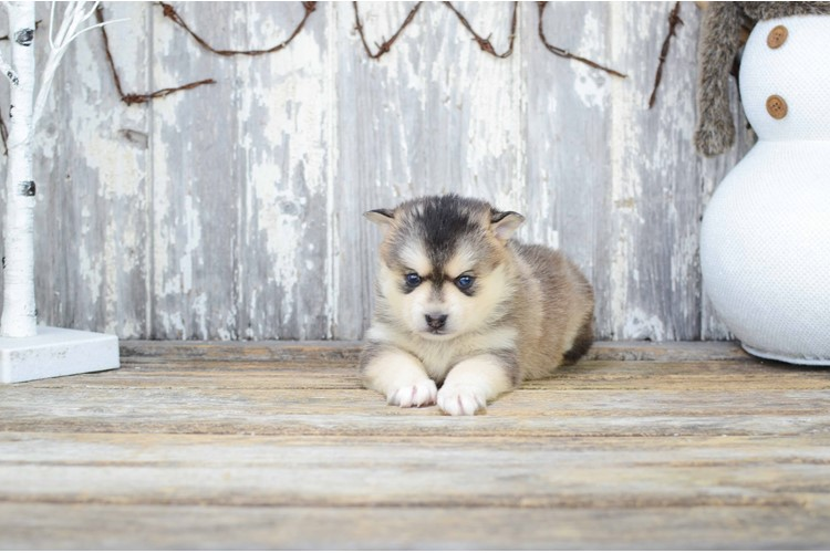 Raina Is Our Pomsky Puppy For Sale