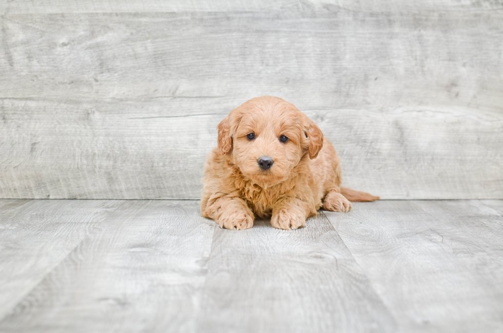 F1 MINI GOLDENDOODLE PUPPY - 6 week old Mini Goldendoodle for sale