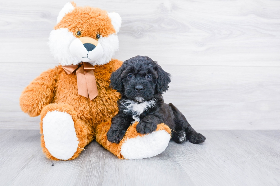 F1B MINI BERNEDOODLE PUPPY - 6 week old Mini Bernedoodle for sale