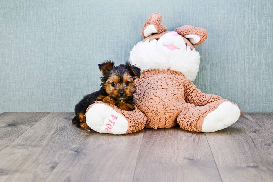 MICRO TEACUP YORKIE PUPPY 1