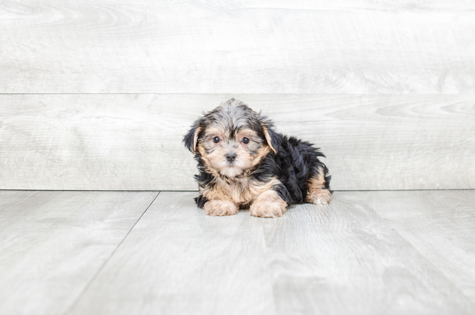 MORKIE PUPPY - 6 week old Morkie for sale