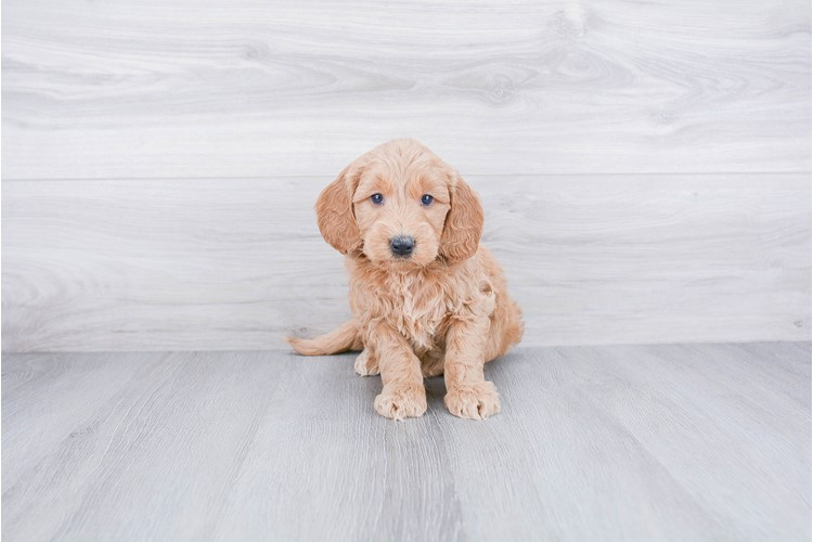 F1 MINI GOLDENDOODLE PUPPY 2