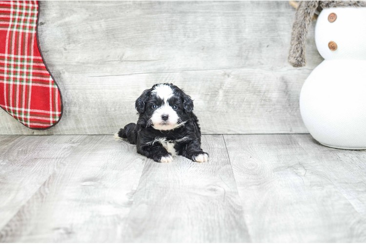 Morkie Puppy For Sale Premier Pups