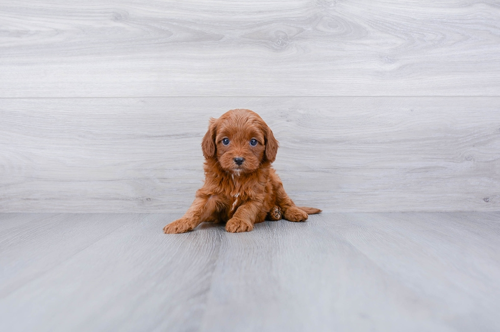 F1B CAVA POO PUPPY - 7 week old Cava Poo for sale