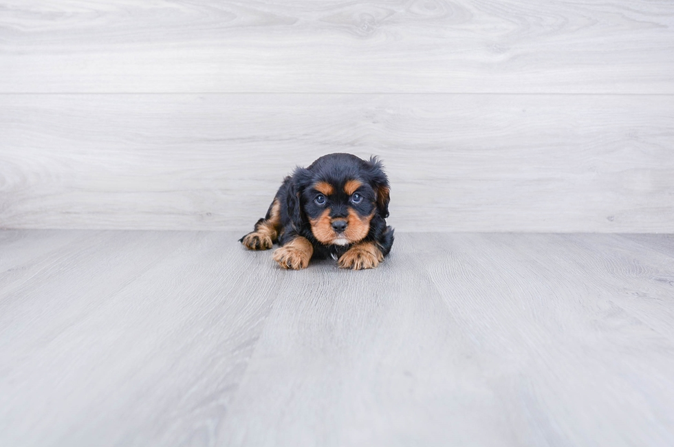 CAVALIER PUPPY - 8 week old Cavalier King Charles Spaniel for sale